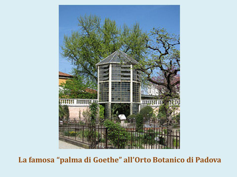 "La famosa ""palma di Goethe"" all'Orto Botanico di Padova"