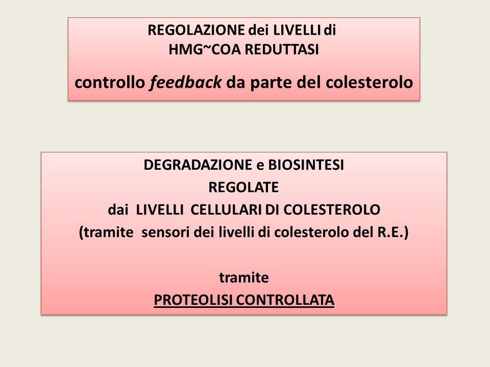 REGOLAZIONE dei LIVELLI di HMG~COA REDUTTASI controllo feedback da parte del colesterolo REGOLAZIONE dei LIVELLI di HMG~COA REDUTTASI controllo feedba