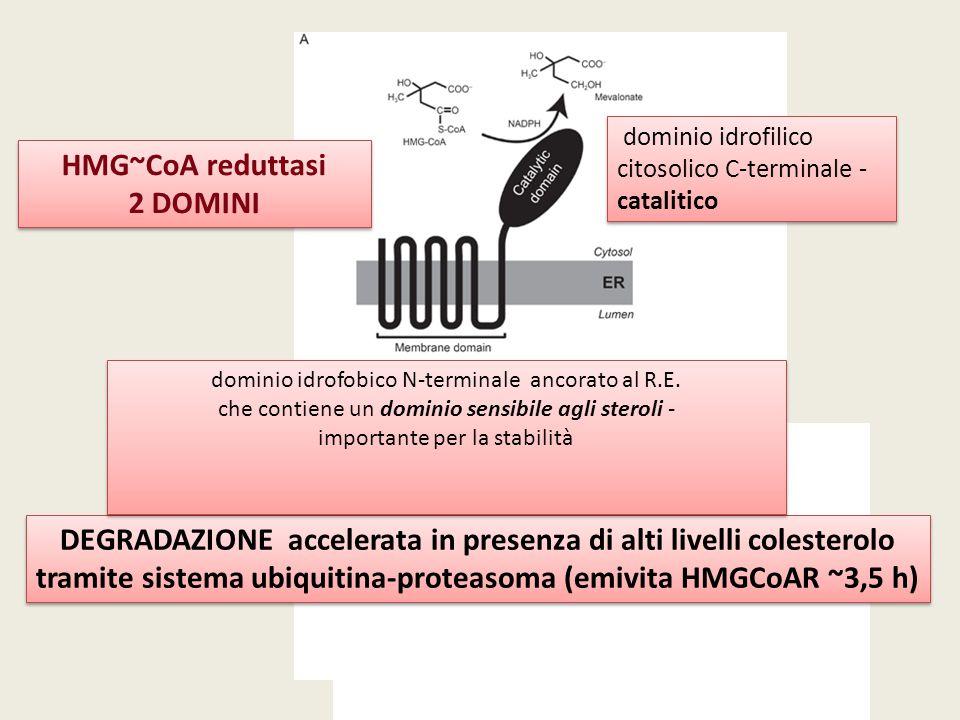 dominio idrofilico citosolico C-terminale - catalitico dominio idrofilico citosolico C-terminale - catalitico HMG~CoA reduttasi 2 DOMINI HMG~CoA redut