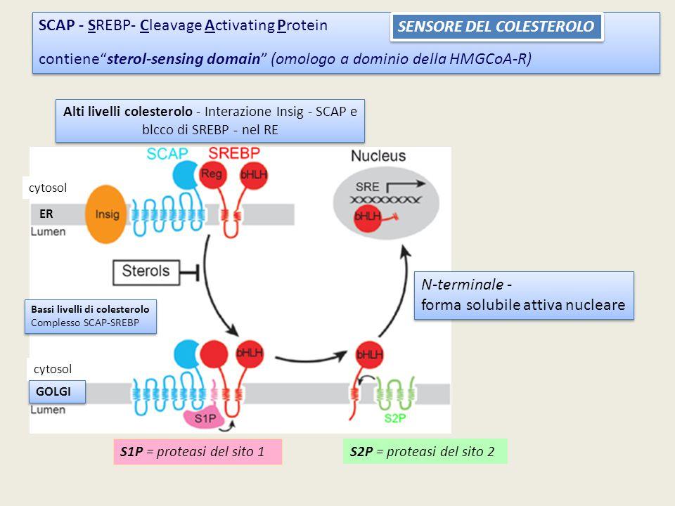 """SCAP - SREBP- Cleavage Activating Protein contiene""""sterol-sensing domain"""" (omologo a dominio della HMGCoA-R) SCAP - SREBP- Cleavage Activating Protein"""