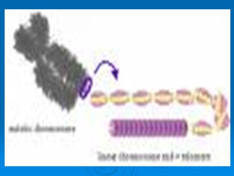 L'elicoide tronco conico del DNA fissato sui cromosomi, è un'antenna galleggiante in liquidi e come una bussola si orienta in tutti i sensi per trasmettere e captare i messaggi che ad ogni istante gli arrivano da ogni parte.