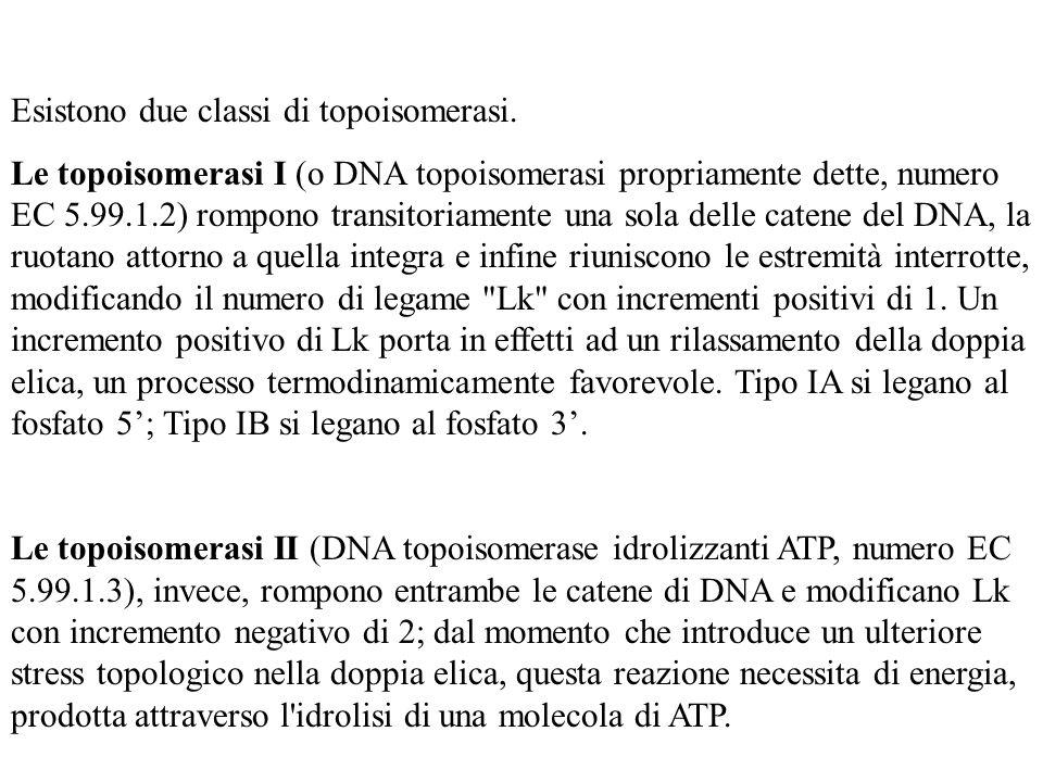 Esistono due classi di topoisomerasi.
