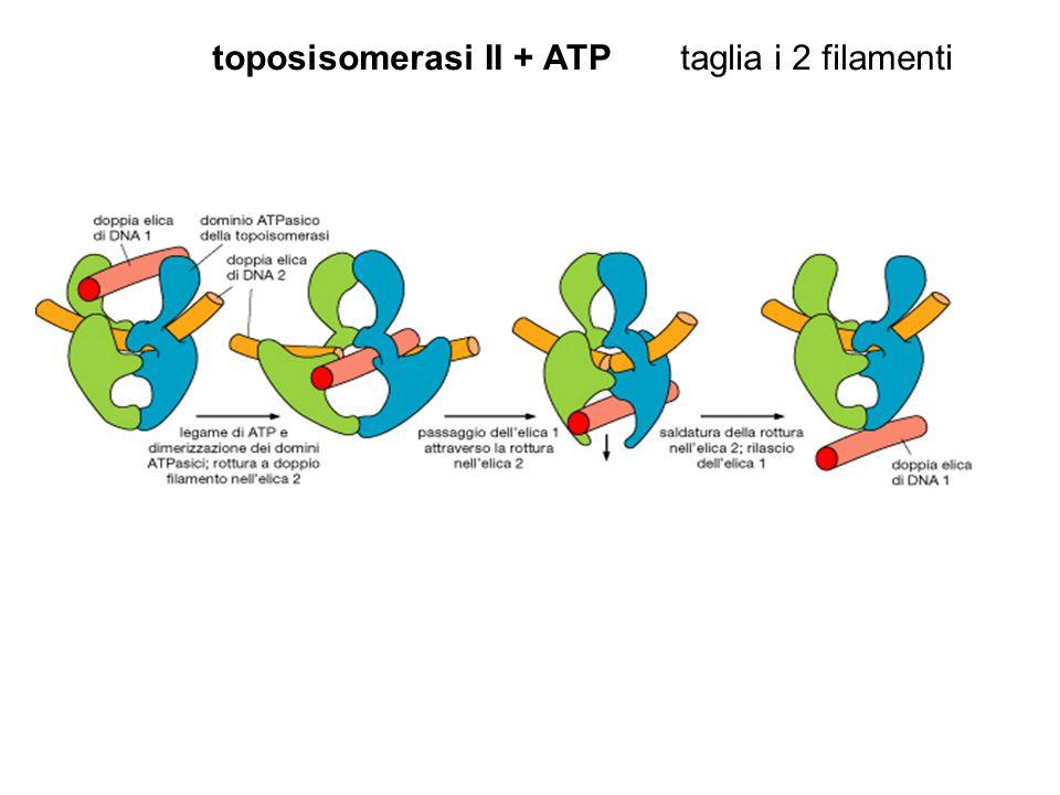toposisomerasiII + ATPtaglia i 2 filamenti