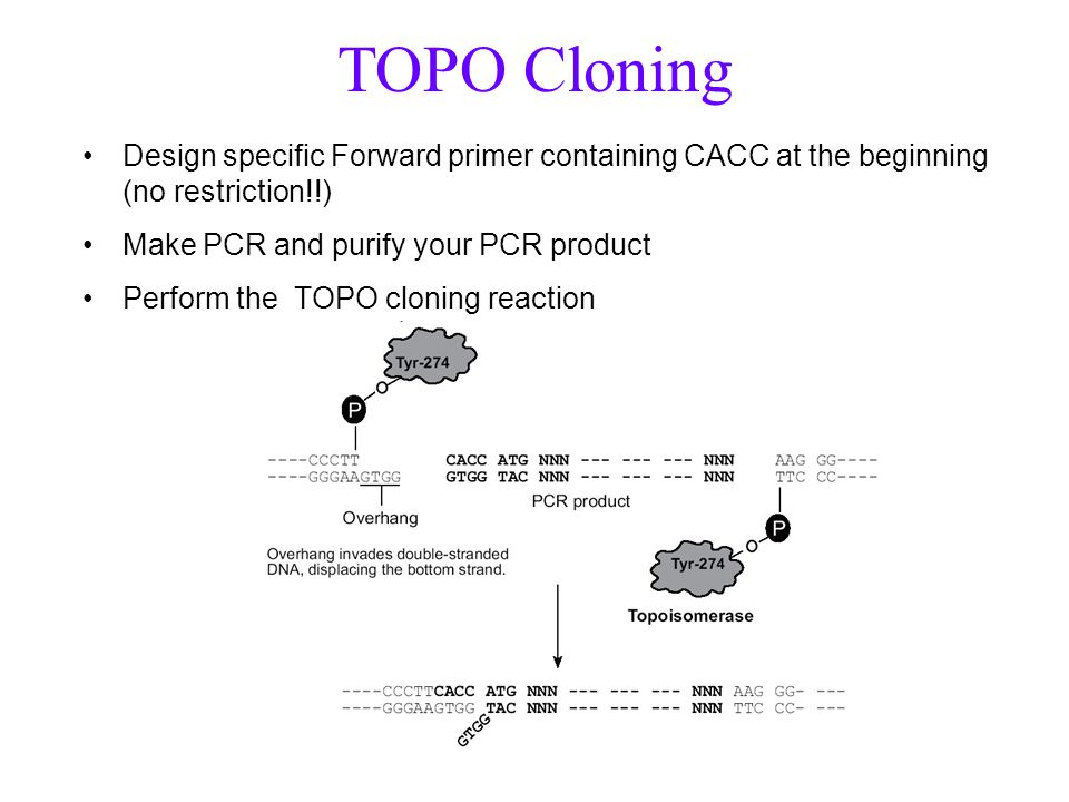 Design specific Forward primer containing CACC at the beginning (no restriction!!) Make PCR and purify your PCR product Perform the TOPO cloning react