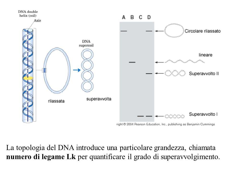 La topologia del DNA introduce una particolare grandezza, chiamata numero di legame Lk per quantificare il grado di superavvolgimento.