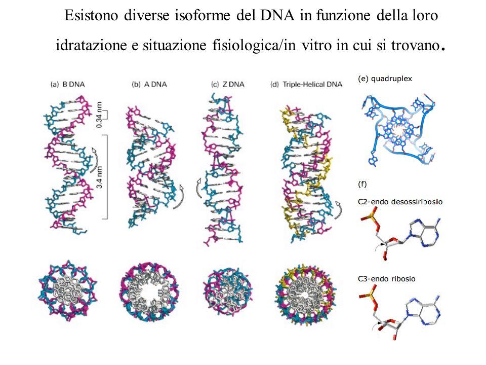 Esistono diverse isoforme del DNA in funzione della loro idratazione e situazione fisiologica/in vitro in cui si trovano.