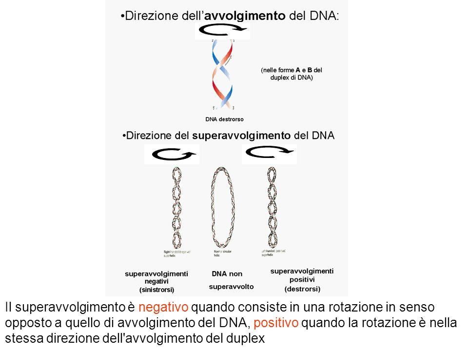 Il superavvolgimento è negativo quando consiste in una rotazione in senso opposto a quello di avvolgimento del DNA, positivo quando la rotazione è nella stessa direzione dell avvolgimento del duplex
