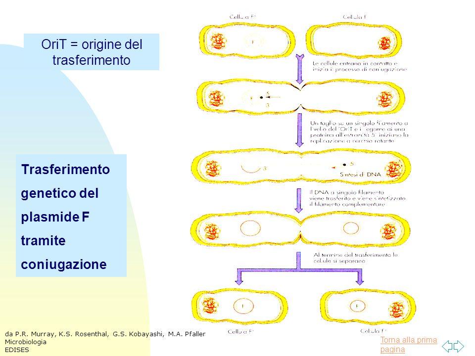 Torna alla prima pagina Trasferimento genetico del plasmide F tramite coniugazione OriT = origine del trasferimento da P.R. Murray, K.S. Rosenthal, G.