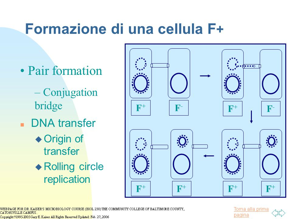 Torna alla prima pagina Formazione di una cellula F + n DNA transfer u Origin of transfer u Rolling circle replication Pair formation – Conjugation br