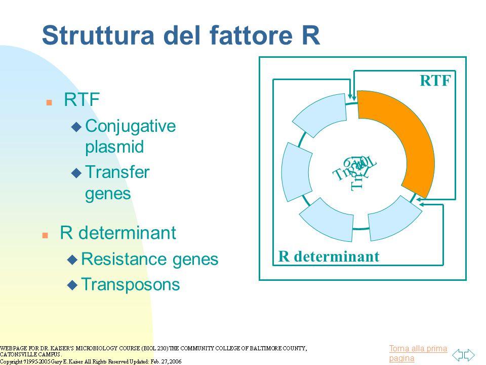 Torna alla prima pagina Struttura del fattore R n RTF u Conjugative plasmid u Transfer genes Tn 9 Tn 21 Tn 10 Tn 8 RTF R determinant n R determinant u