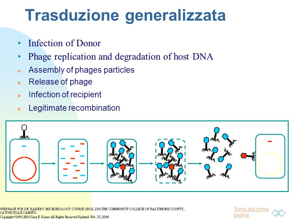 Torna alla prima pagina Trasduzione generalizzata n Release of phage Phage replication and degradation of host DNA n Assembly of phages particles n Infection of recipient n Legitimate recombination Infection of Donor