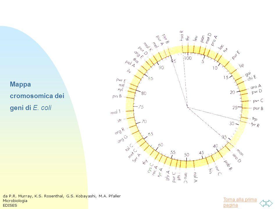 Torna alla prima pagina Mappa cromosomica dei geni di E. coli da P.R. Murray, K.S. Rosenthal, G.S. Kobayashi, M.A. Pfaller Microbiologia EDISES