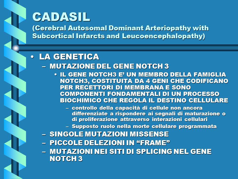 CADASIL (Cerebral Autosomal Dominant Arteriopathy with Subcortical Infarcts and Leucoencephalopathy) LA GENETICALA GENETICA –MUTAZIONE DEL GENE NOTCH 3 IL GENE NOTCH3 E' UN MEMBRO DELLA FAMIGLIA NOTCH3, COSTITUITA DA 4 GENI CHE CODIFICANO PER RECETTORI DI MEMBRANA E SONO COMPONENTI FONDAMENTALI DI UN PROCESSO BIOCHIMICO CHE REGOLA IL DESTINO CELLULAREIL GENE NOTCH3 E' UN MEMBRO DELLA FAMIGLIA NOTCH3, COSTITUITA DA 4 GENI CHE CODIFICANO PER RECETTORI DI MEMBRANA E SONO COMPONENTI FONDAMENTALI DI UN PROCESSO BIOCHIMICO CHE REGOLA IL DESTINO CELLULARE –controllo della capacità di cellule non ancora differenziate a rispondere ai segnali di maturazione o di proliferazione attraverso interazioni cellulari –Supposto ruolo nella morte cellulare programmata –SINGOLE MUTAZIONI MISSENSE –PICCOLE DELEZIONI IN FRAME –MUTAZIONI NEI SITI DI SPLICING NEL GENE NOTCH 3