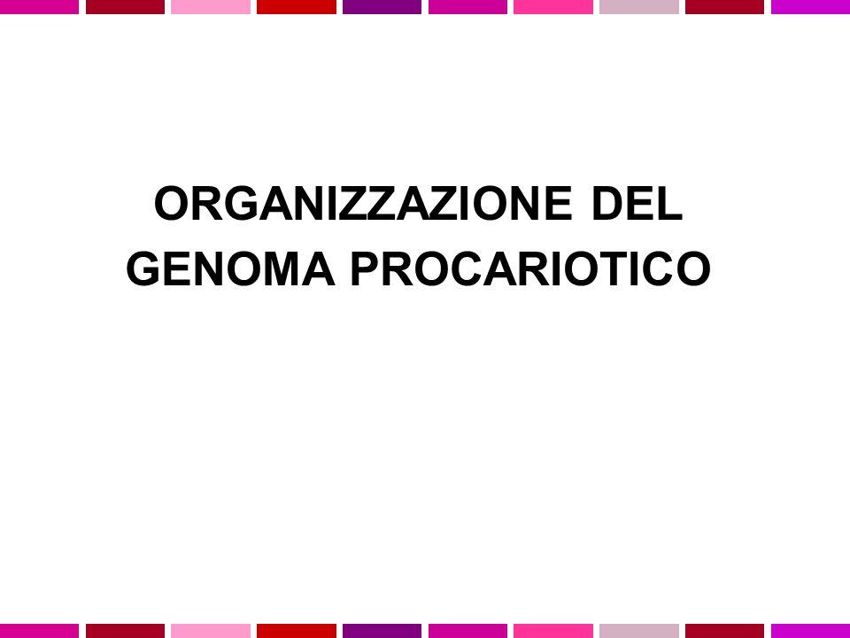 GENOMA PROCARIOTICO Genoma piccolo (E.