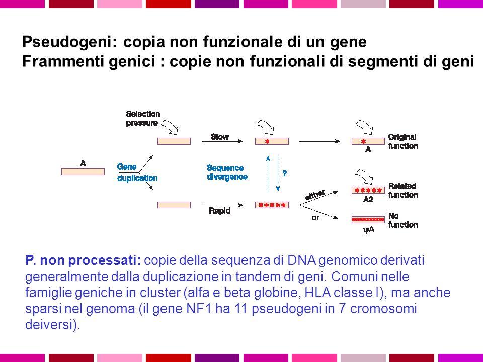 Pseudogeni: copia non funzionale di un gene Frammenti genici : copie non funzionali di segmenti di geni P. non processati: copie della sequenza di DNA