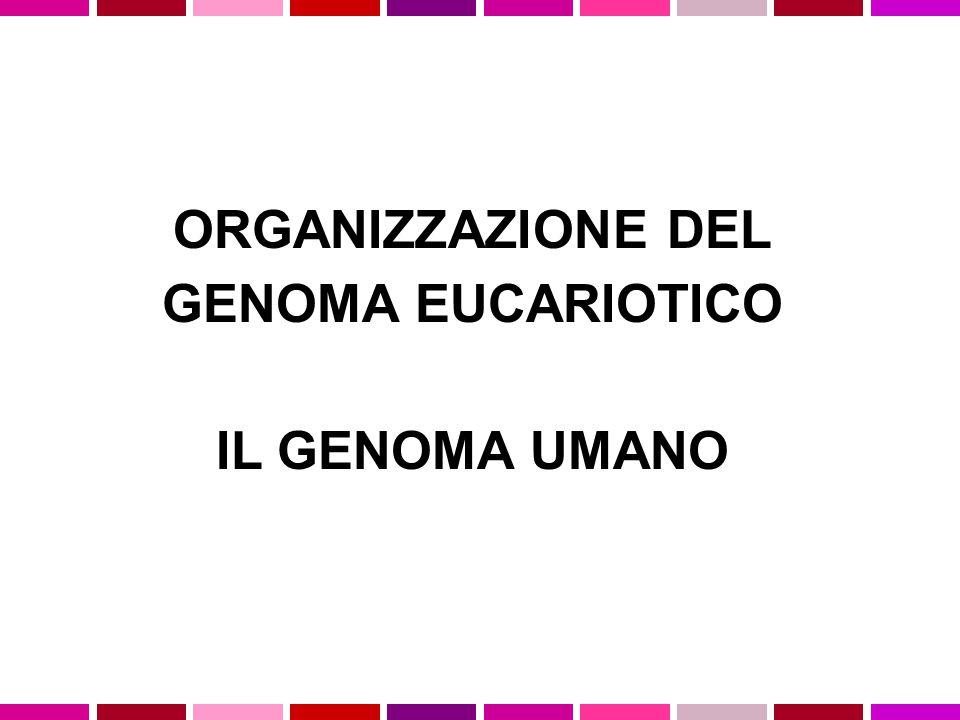 ORGANIZZAZIONE DEL GENOMA EUCARIOTICO IL GENOMA UMANO