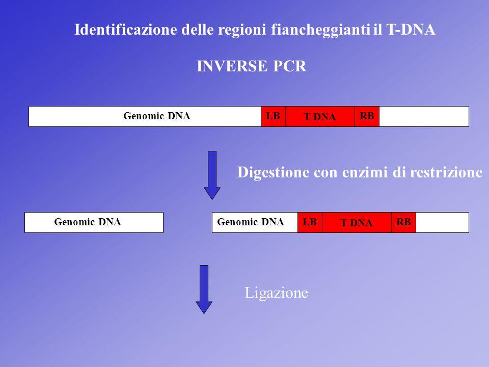 Identificazione delle regioni fiancheggianti il T-DNA INVERSE PCR Genomic DNA T-DNA LBRB Digestione con enzimi di restrizione T-DNA LBRBGenomic DNA Li
