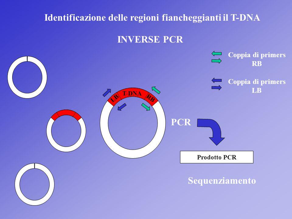 Identificazione delle regioni fiancheggianti il T-DNA INVERSE PCR T-DNA LB RB PCR Prodotto PCR Sequenziamento Coppia di primers RB Coppia di primers L
