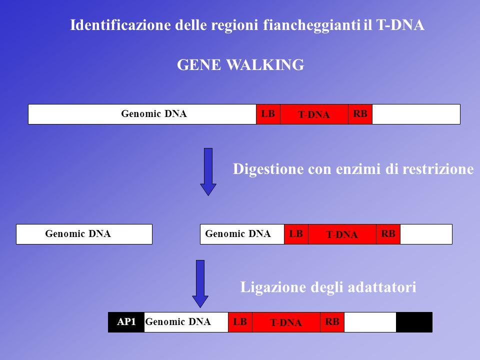 Identificazione delle regioni fiancheggianti il T-DNA GENE WALKING Genomic DNA T-DNA Digestione con enzimi di restrizione T-DNA Ligazione degli adatta
