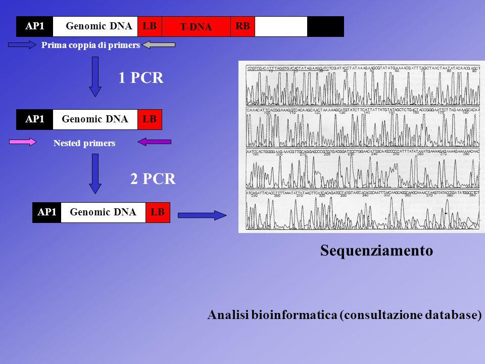 T-DNA LBRBAP1 1 PCR LBAP1 2 PCR Nested primers LBAP1 Genomic DNA Prima coppia di primers Sequenziamento Analisi bioinformatica (consultazione database