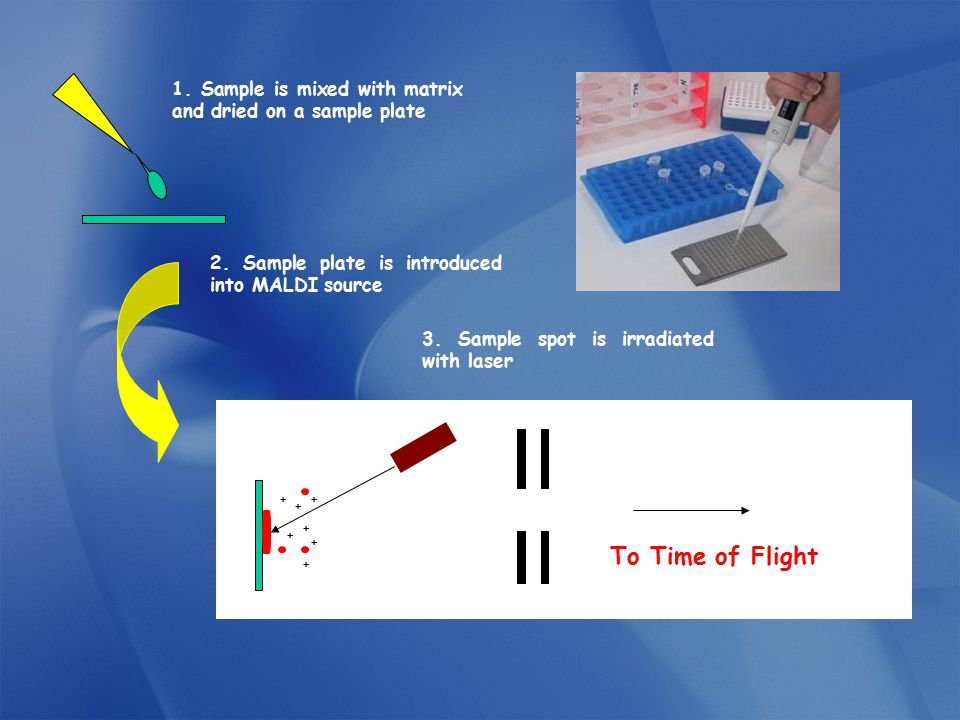 2. Sample plate is introduced into MALDI source 3. Sample spot is irradiated with laser + + + + + + + To Time of Flight 1. Sample is mixed with matrix