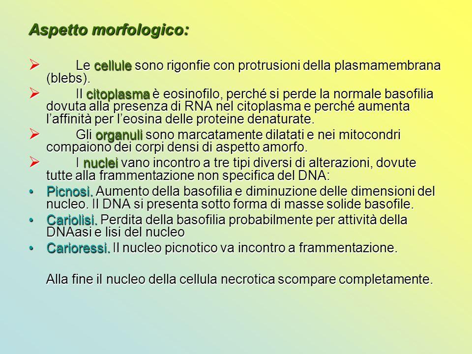 Aspetto morfologico:  Le cellule sono rigonfie con protrusioni della plasmamembrana (blebs).  Il citoplasma è eosinofilo, perché si perde la normale