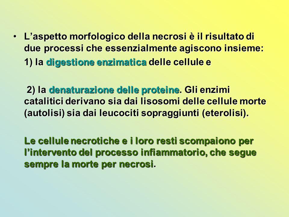 L'aspetto morfologico della necrosi è il risultato di due processi che essenzialmente agiscono insieme:L'aspetto morfologico della necrosi è il risult