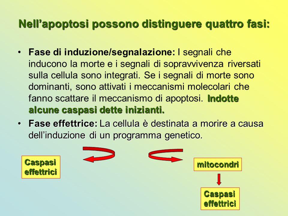 Nell'apoptosi possono distinguere quattro fasi: Indotte alcune caspasi dette inizianti.Fase di induzione/segnalazione: I segnali che inducono la morte