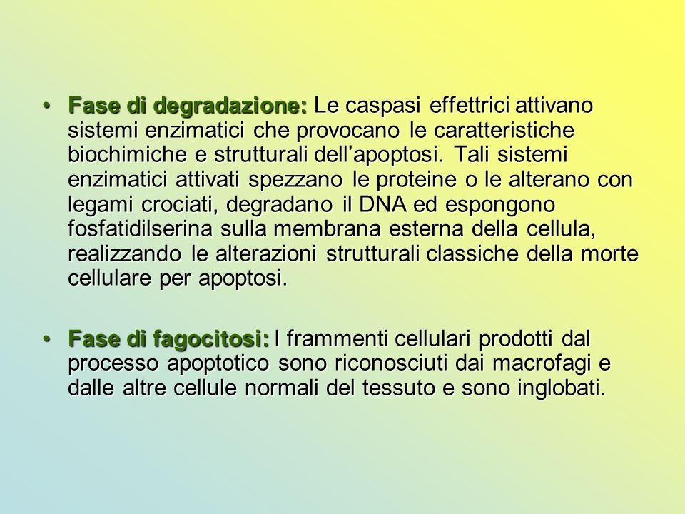 Fase di degradazione: Le caspasi effettrici attivano sistemi enzimatici che provocano le caratteristiche biochimiche e strutturali dell'apoptosi. Tali