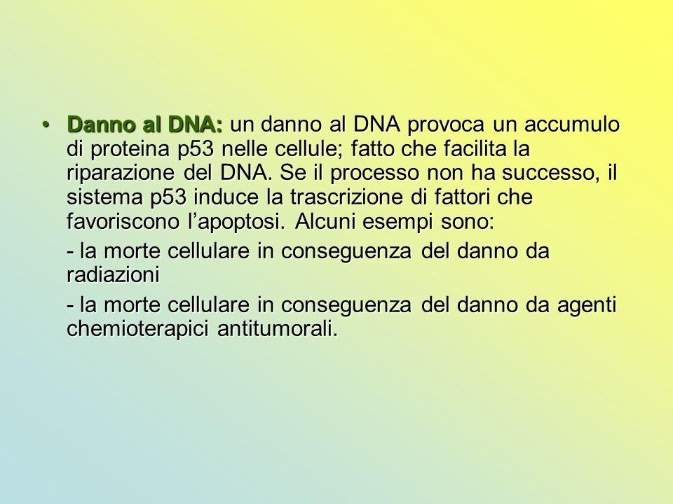Danno al DNA: un danno al DNA provoca un accumulo di proteina p53 nelle cellule; fatto che facilita la riparazione del DNA. Se il processo non ha succ