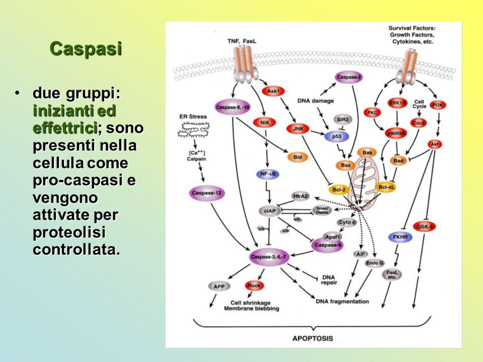 Caspasi due gruppi: inizianti ed effettrici; sono presenti nella cellula come pro-caspasi e vengono attivate per proteolisi controllata.due gruppi: in