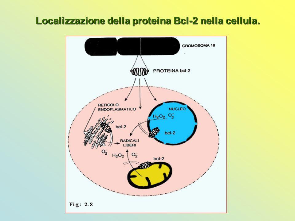 Localizzazione della proteina Bcl-2 nella cellula.