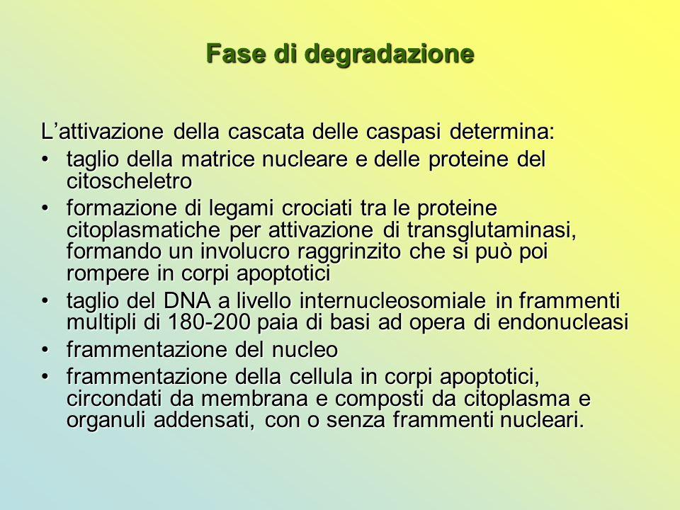 Fase di degradazione L'attivazione della cascata delle caspasi determina: taglio della matrice nucleare e delle proteine del citoscheletrotaglio della