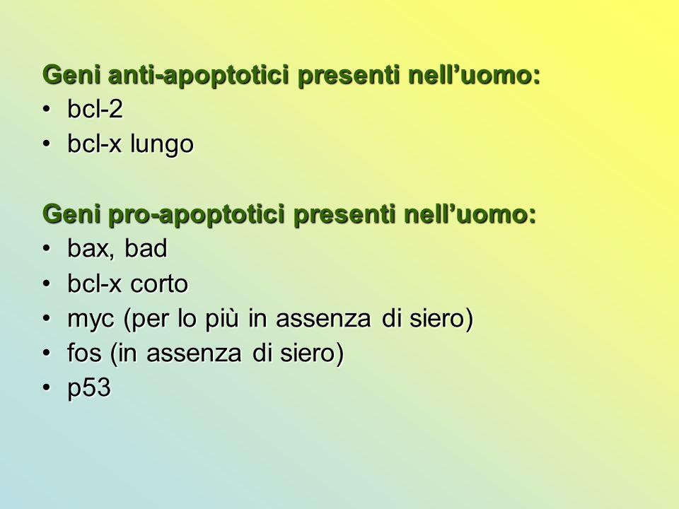 Geni anti-apoptotici presenti nell'uomo: bcl-2bcl-2 bcl-x lungobcl-x lungo Geni pro-apoptotici presenti nell'uomo: bax, badbax, bad bcl-x cortobcl-x c