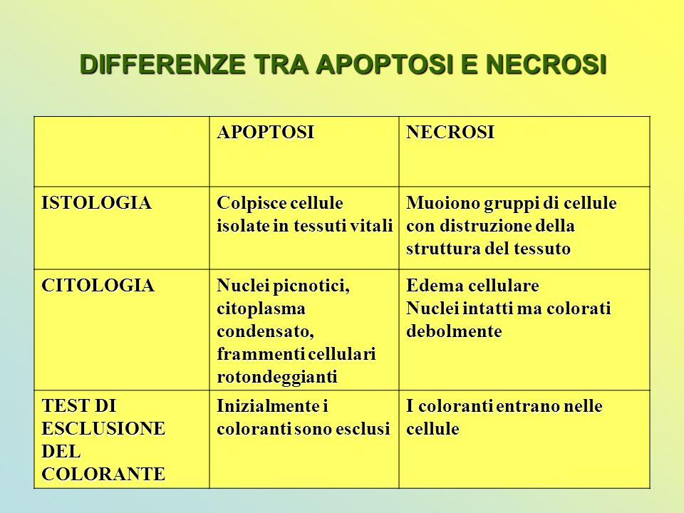 DIFFERENZE TRA APOPTOSI E NECROSI APOPTOSINECROSI ISTOLOGIA Colpisce cellule isolate in tessuti vitali Muoiono gruppi di cellule con distruzione della