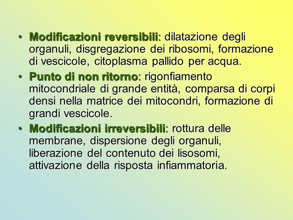 Modificazioni reversibili: dilatazione degli organuli, disgregazione dei ribosomi, formazione di vescicole, citoplasma pallido per acqua.Modificazioni