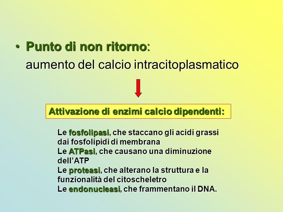 Punto di non ritorno:Punto di non ritorno: aumento del calcio intracitoplasmatico Attivazione di enzimi calcio dipendenti: Le fosfolipasi, che staccan
