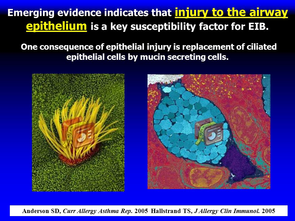 Emerging evidence indicates that injury to the airway epithelium is a key susceptibility factor for EIB. One consequence of epithelial injury is repla