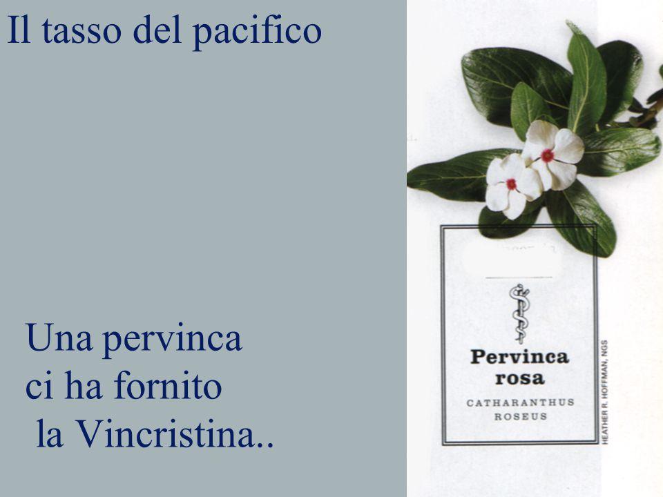 Una pervinca ci ha fornito la Vincristina.. Il tasso del pacifico