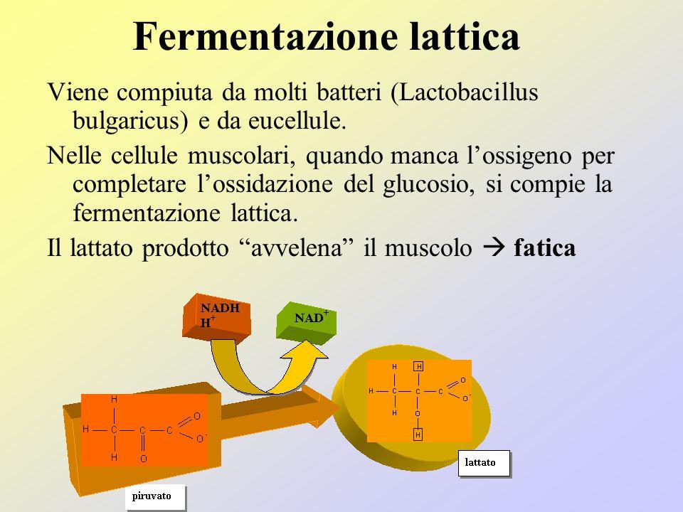 Fermentazione alcolica La fermentazione alcolica viene compiuta da molti batteri, lieviti e muffe (saccaromiceti, lievito di birra) Un atomo di carbon