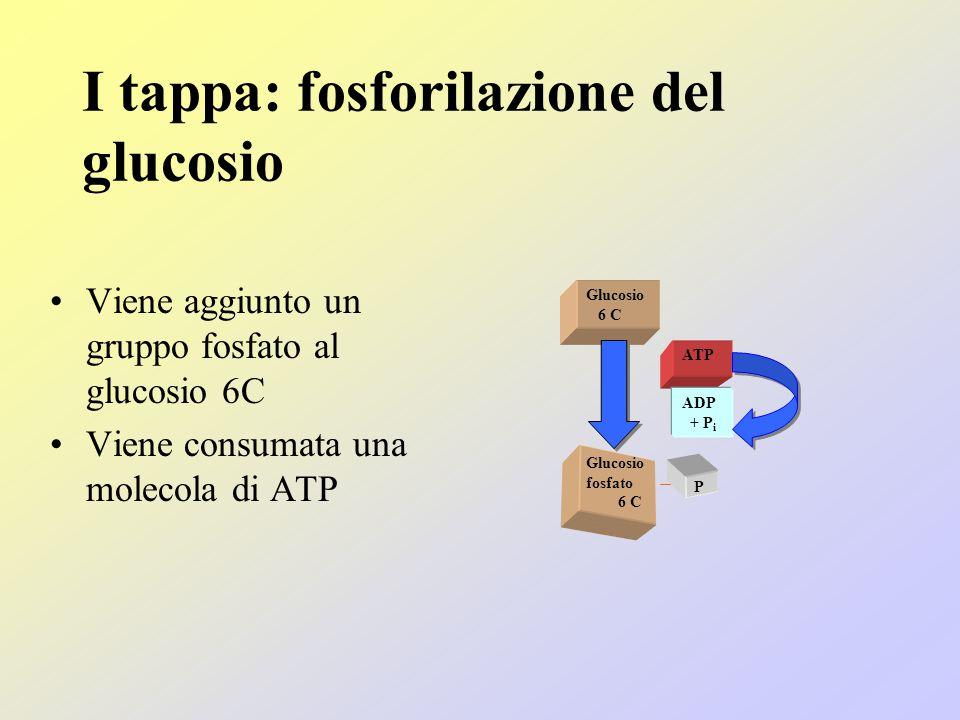 I tappa: fosforilazione del glucosio Viene aggiunto un gruppo fosfato al glucosio 6C Viene consumata una molecola di ATP Glucosio 6 C ATP ADP + P i Glucosio fosfato 6 C P