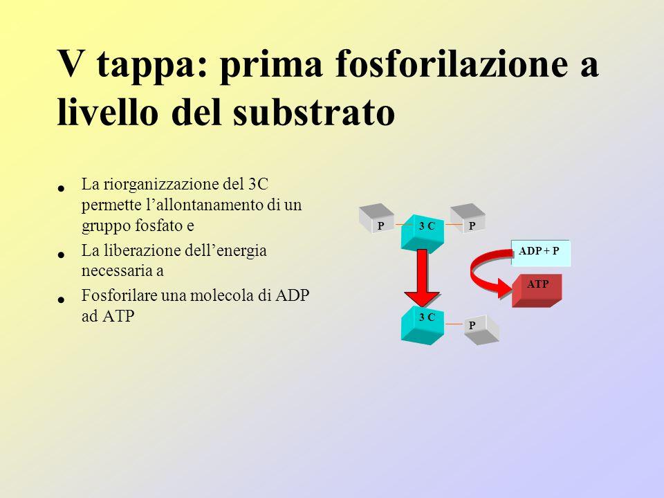 V tappa: prima fosforilazione a livello del substrato La riorganizzazione del 3C permette l'allontanamento di un gruppo fosfato e La liberazione dell'energia necessaria a Fosforilare una molecola di ADP ad ATP 3 C PP P ADP + P ATP