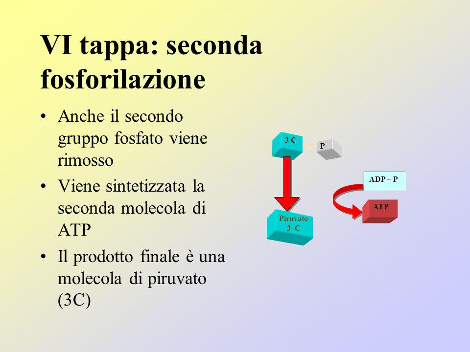 VI tappa: seconda fosforilazione Anche il secondo gruppo fosfato viene rimosso Viene sintetizzata la seconda molecola di ATP Il prodotto finale è una molecola di piruvato (3C) 3 C P Piruvato 3 C ADP + P ATP