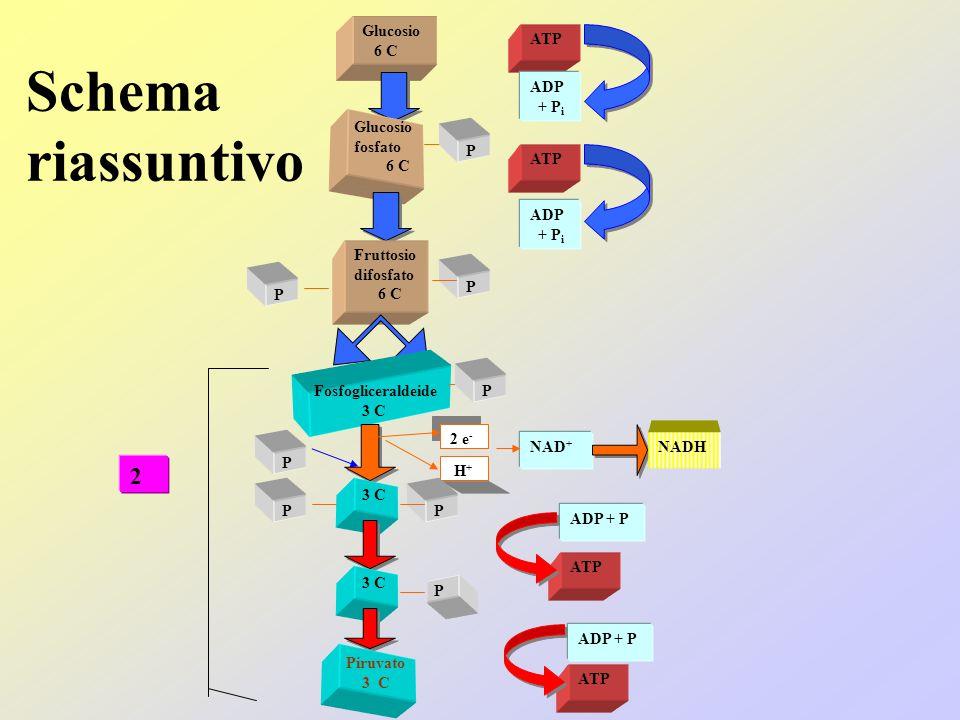 Glucosio 6 C ATP ADP + P i Glucosio fosfato 6 C ATP ADP + P i Fruttosio difosfato 6 C P P P Fosfogliceraldeide 3 C P 2 e - P H + NAD + NADH 3 C PP P ADP + P ATP Piruvato 3 C ADP + P ATP 2 Schema riassuntivo