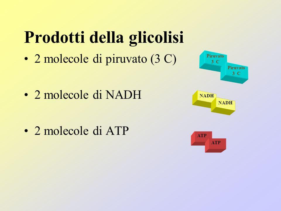 Prodotti della glicolisi 2 molecole di piruvato (3 C) 2 molecole di NADH 2 molecole di ATP Piruvato 3 C Piruvato 3 C ATP NADH