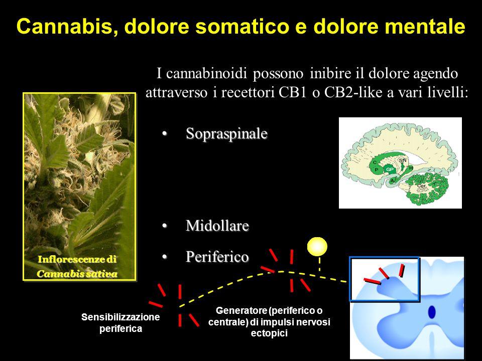 Cannabis, dolore somatico e dolore mentale Inflorescenze di Cannabis sativa I cannabinoidi possono inibire il dolore agendo attraverso i recettori CB1 o CB2-like a vari livelli: SopraspinaleSopraspinale MidollareMidollare PerifericoPeriferico Sensibilizzazione periferica Sensibilizzazione periferica Generatore (periferico o centrale) di impulsi nervosi ectopici