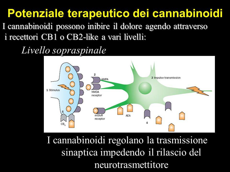 I cannabinoidi regolano la trasmissione sinaptica impedendo il rilascio del neurotrasmettitore Potenziale terapeutico dei cannabinoidi Livello sopraspinale I cannabinoidi possono inibire il dolore agendo attraverso i recettori CB1 o CB2-like a vari livelli: i recettori CB1 o CB2-like a vari livelli: