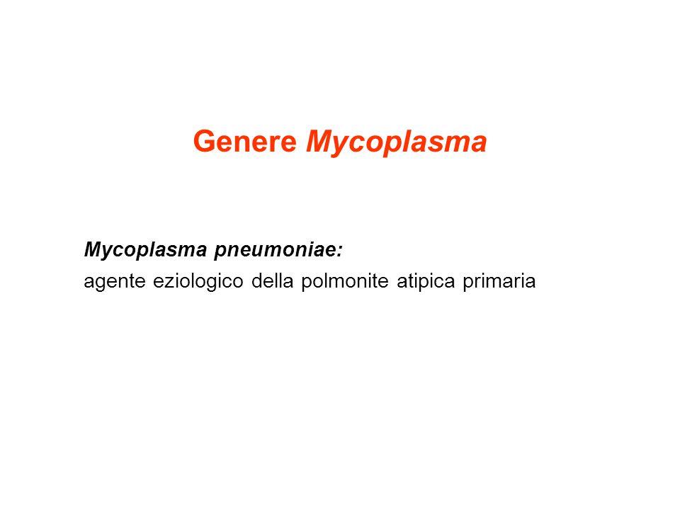 Genere Mycoplasma Mycoplasma pneumoniae: agente eziologico della polmonite atipica primaria