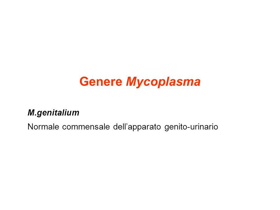Genere Mycoplasma M.genitalium Normale commensale dell'apparato genito-urinario