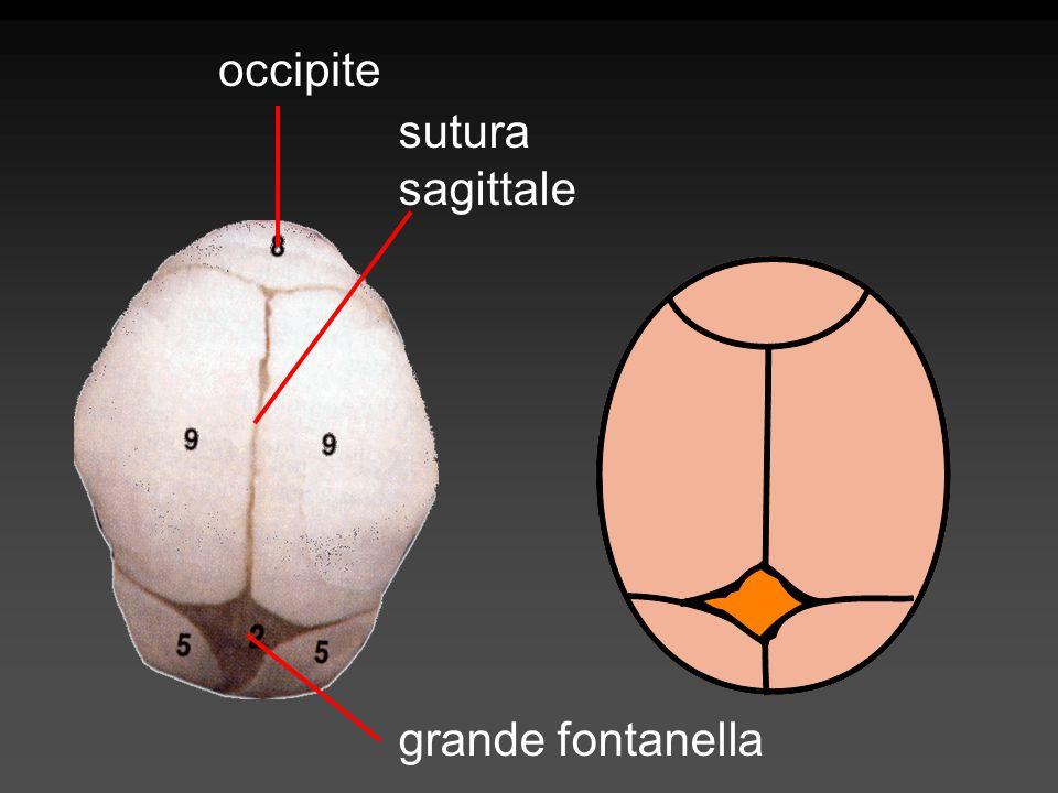 occipite sutura sagittale grande fontanella
